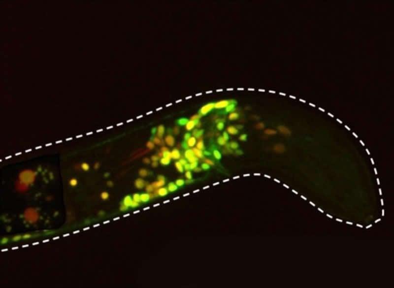 This shows serotonin neurons
