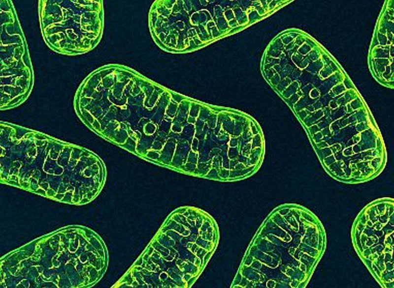 This shows mitochondria