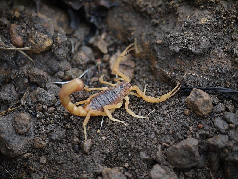 This shows the indian red scorpion