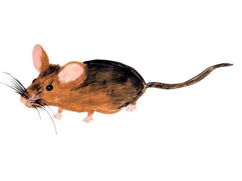 This is a drawing of a mouse