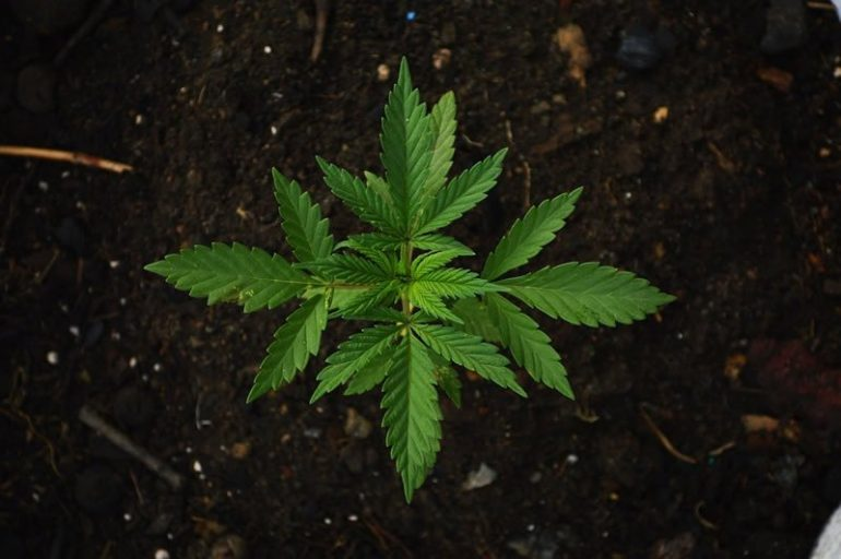 This shows a marijuana plant