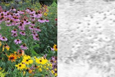 This shows flowers in color and monochrome