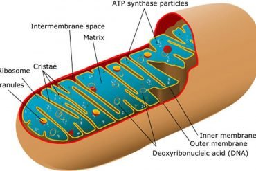 This is a drawing of mitochondria