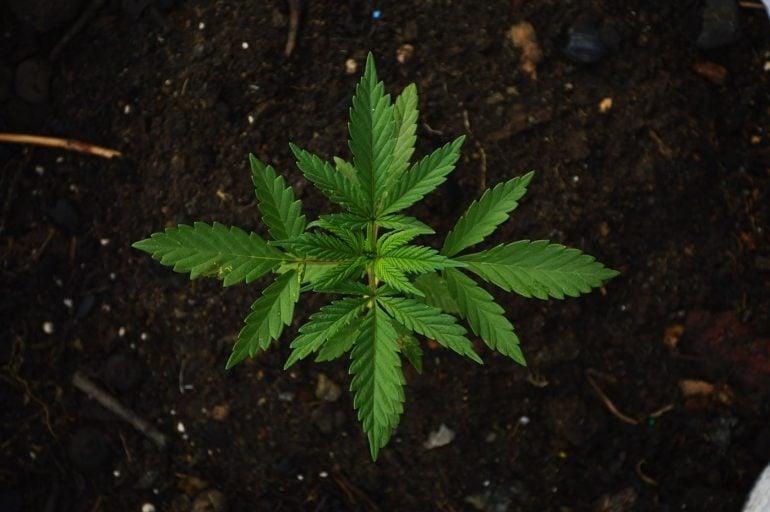 This shows cannabis