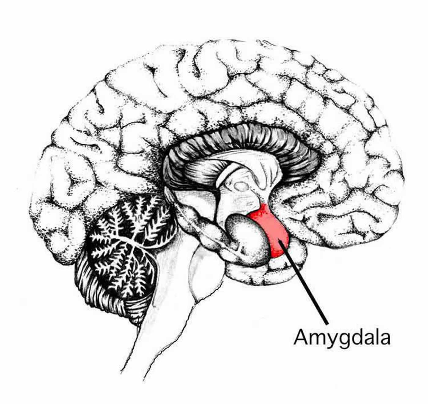 Amygdala Changes in Male Patients with Schizophrenia and Bipolar Disorder - Neuroscience News