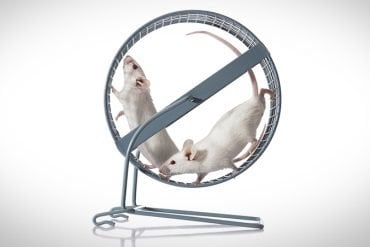 This shows mice in a running wheel