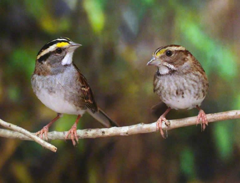 This shows two white throated sparrows