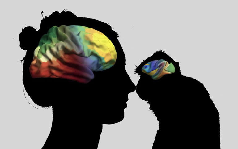 This shows a human brain and a primate brain