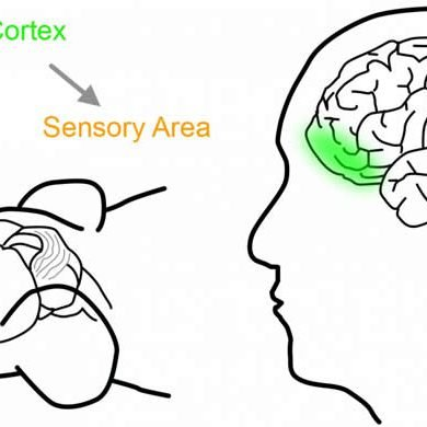 This shows the location of the orbitofrontal cortex