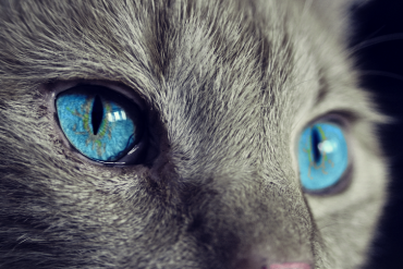 This shows a cat with blue eyes