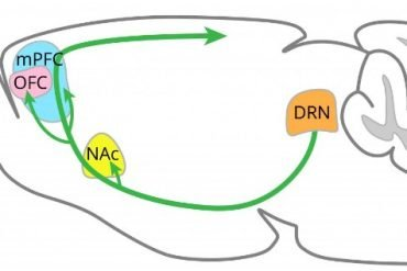 This shows the dopamine network