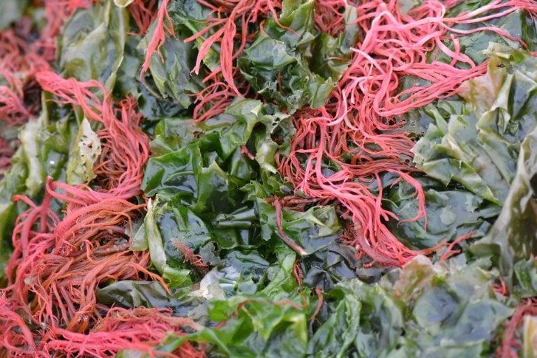 Questo mostra alghe rosse