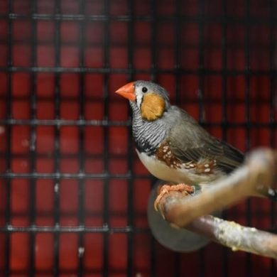 This shows a zebra finch
