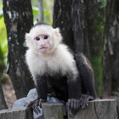 This shows a capuchin monkey