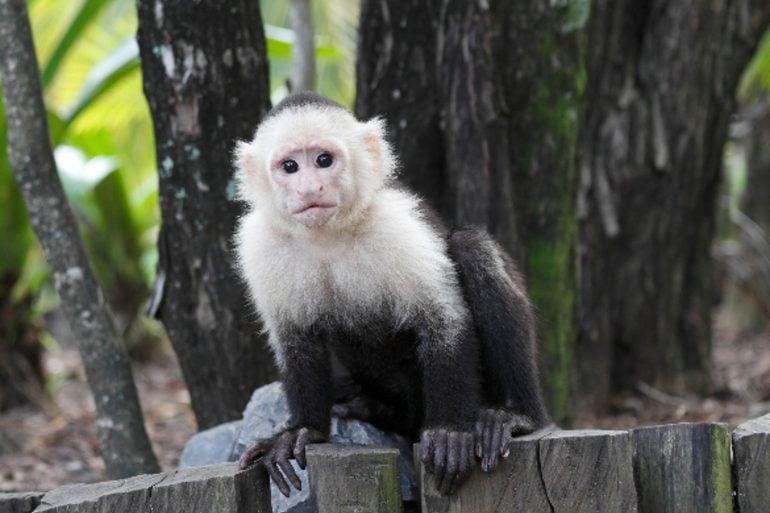 This shows a capuchin monkey
