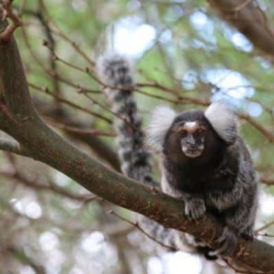 This shows a marmoset in a tree