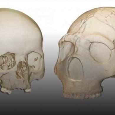 This shows 3D models of skulls