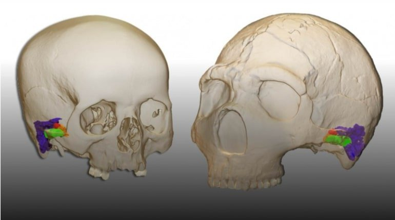 This shows 3D models of skulls