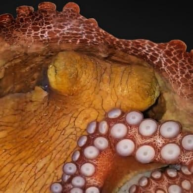This shows a sleeping octopus