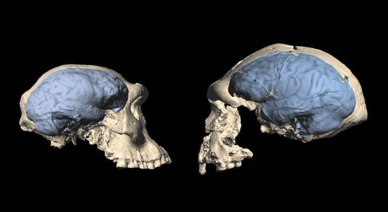These are models of the skulls and brains