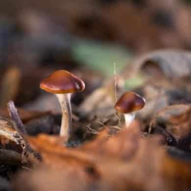 This shows wild psilocybin cyanescens mushrooms