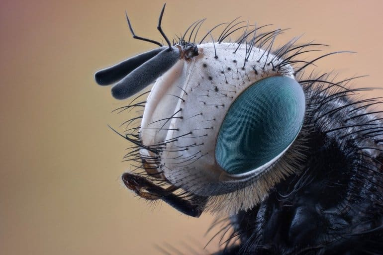 This shows a close up of a fly's face
