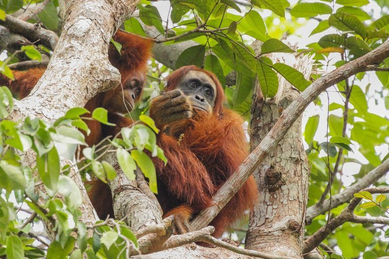 This shows a mother orangutan and her baby