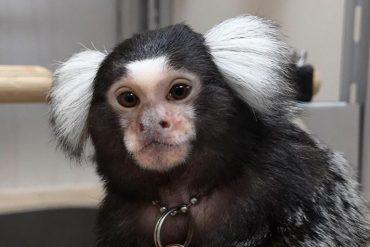 This shows a marmoset