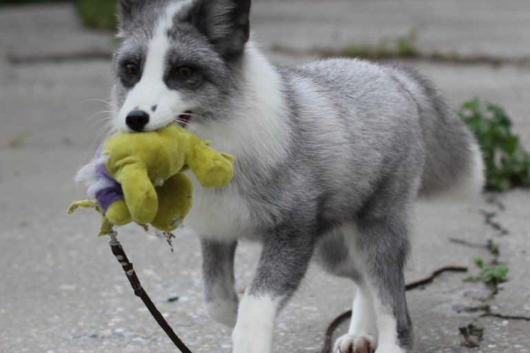 This shows a silver and white fox with a toy in his mouth