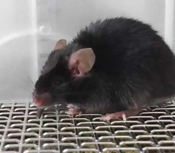 This shows a mouse