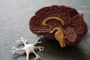 This is a model of a brain and neuron