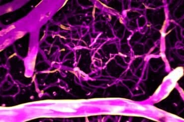 This shows calcium directing blood flow in the brain