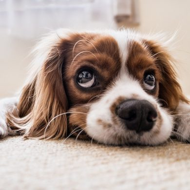 This shows an adorable puppy with big eyes