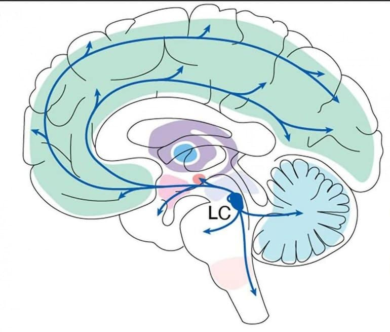 This shows the location of the LC in the brain