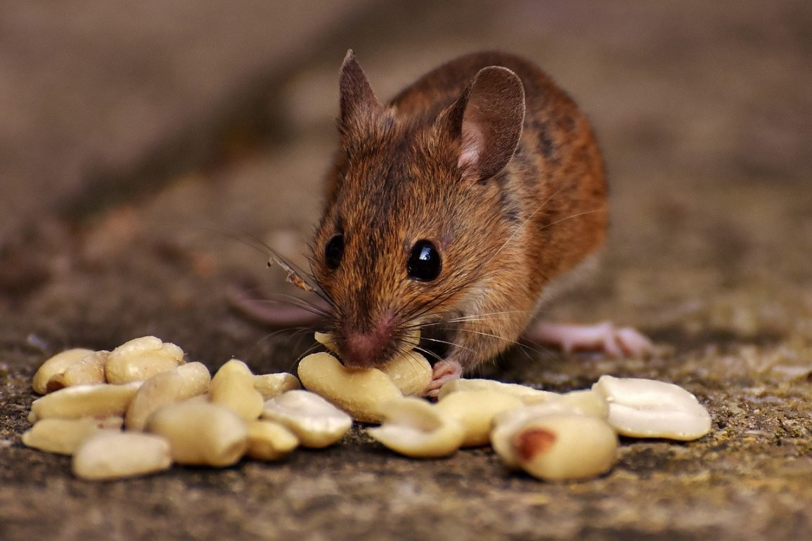 This shows a mouse eating nuts