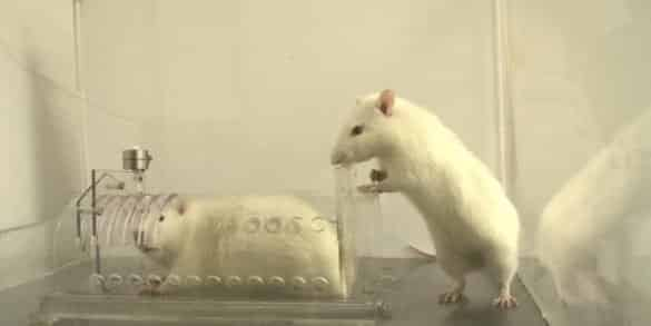 This shows two white rats. One is trapped in a box, the other looks as though he is trying to help the other rat get out of the box