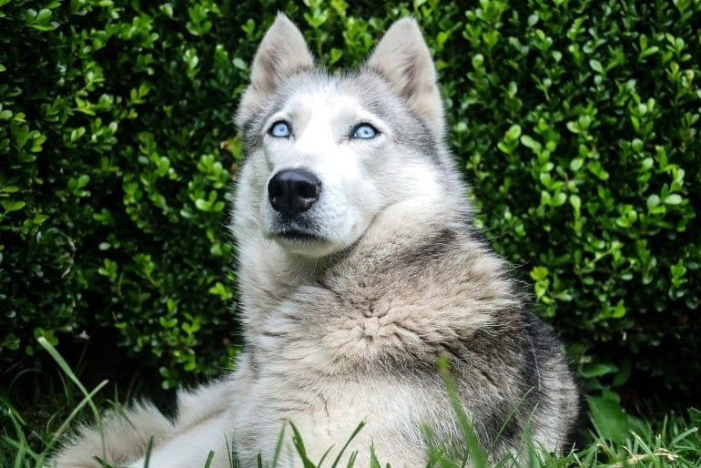 This shows a gorgeous wolf laying in the grass