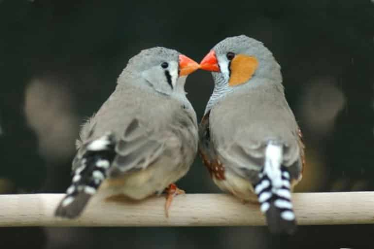 This shows zebra finches