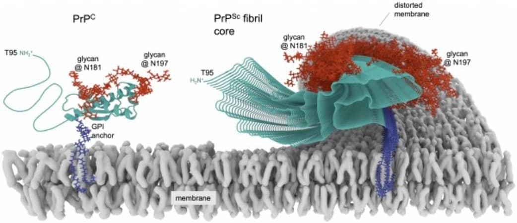 This shows a diagram of a prion protein