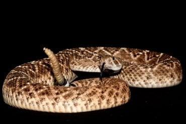 This shows a western diamondback rattlesnake