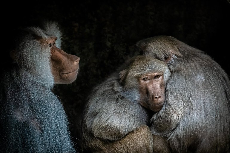 This shows three baboons