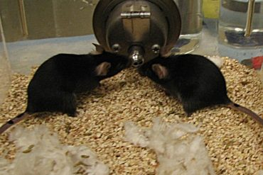 This shows two mice sharing a waterbowl
