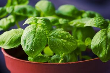 This shows a basil plant