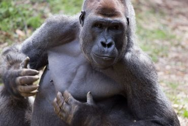 This shows a gorilla