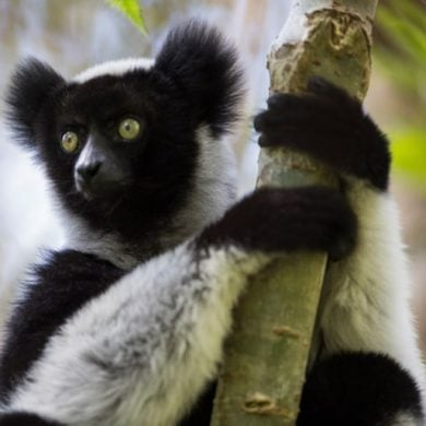 This shows a lemur sitting in a tree