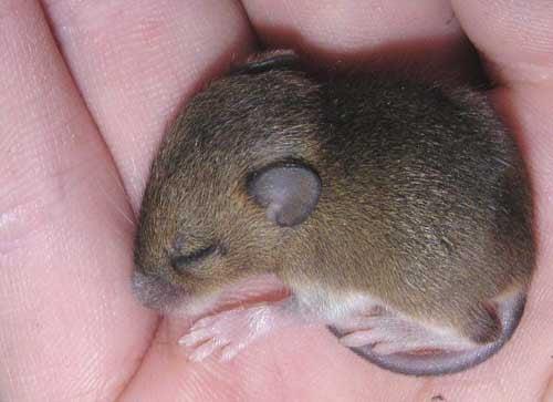 RGS14 Gene Smarter Mouse