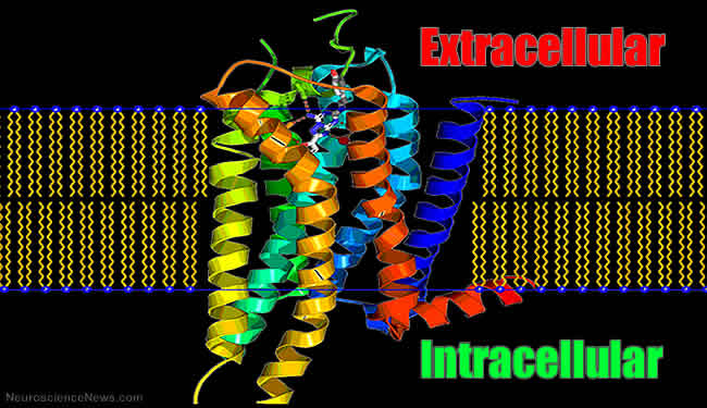 An illustration of an A2A adenosine receptor is shown spanning a membrane with the words Extracellular and Intracellular printed on it.