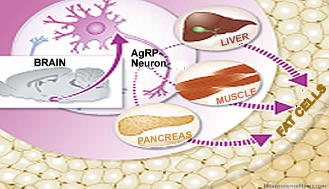 A drawing of AgRP neurons, brain, pancreas, liver and fat cells is shown.