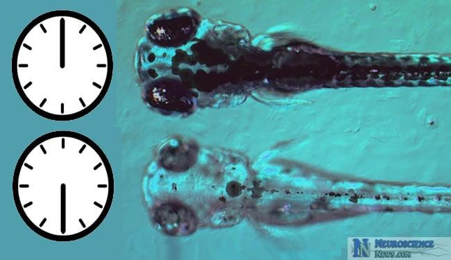Longdaysin can control biological clock of zebra fish