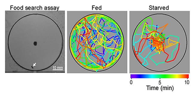 Three images of fruit fly pathways showing the results of well fed fruit fly pathways vs starved fruit fly paths.
